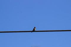 IMG_4555 (dernich) Tags: bird nature canon belgium belgique campagne oiseau wallonie 600d