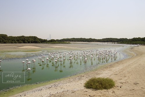 "Flamingos at Dubai - Ras al khor wildlife sanctuary • <a style=""font-size:0.8em;"" href=""http://www.flickr.com/photos/104879414@N07/20045401579/"" target=""_blank"">View on Flickr</a>"