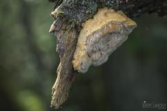 Hericium cirrhatum  (syn. Creolophus cirrhatus) - Crolophe ondul (Vincent L) Tags: france macro photographie t fr saison leslandes aquitaine catchen russulales morcenx basidyomycetes