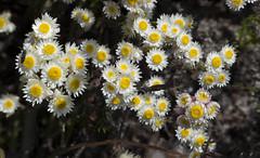 Waitzia citrina 1 (brundrett) Tags: herb everlasting daisy yellow white spring annual