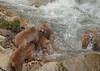 Big fight (iorus and bela) Tags: snowmonkeys japan monkey monkeys japanesemonkey yudanaka iorus bela september summer zomervakantie snowmonkeysinthesummer asia travel macaque japanesemacaque wild wildlife