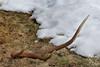 Bois de cerf - Six cors (archives) (Patrice Baud) Tags: bois cors cerf élaphe deer reddeer wild wildlife cerdagne montagne neige pyrénées hirsch cervio cervus nikon d7100