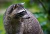 Get back! (jeff_a_goldberg) Tags: laquintadesarapiqui sarapiqui raccoon naturalhabitatadventures nathab winter costarica heredia cr
