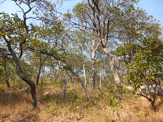Miombo Forest