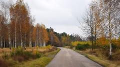 paths and roads (JoannaRB2009) Tags: path road nature tree trees birch autumn fall weather dark cloudy colours łódzkie lodzkie polska poland landscape view lodzhillslandscapepark parkkrajobrazowywzniesieńłódzkich