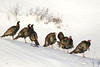 Dindons sauvages / Wild Turkeys (alain.maire) Tags: oiseau bird phasianidae meleagrisgallopavo dindonsauvage wildturkey nature quebec hiver winter snow