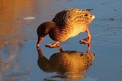 IMG_0728 (Yorkshire Pics) Tags: birds wildlife britishbirds mallard birdsonice ice frozen reflections birdreflections duck fairburnings fairburningsnaturereserve rspbfairburnings