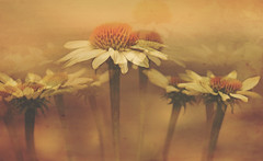Chorus Line (charhedman - on and off) Tags: chorusline daisies slidersunday composite flowers bokeh textures