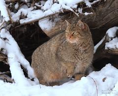 WILD BEAUTY (babsbaron) Tags: natur tiere animals katze cat wildkatze wildcat winter schnee snow springe wisentgehege
