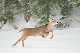 Chevreuil - Deer
