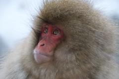 Snow Monkey (nag #) Tags: snowmonkey monkey asia japan nagano jigokudani 地獄谷 猿 温泉 onsen winter snow animal animals nature naturephotography