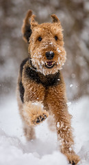 Joy- Explored 15.01.2017 (Ten2Ten) Tags: canon70200f28lll 5dsr 5d canoneos5dsr airedaleterrier airedale terrier dog hund perro chien snow nieve neige schnee