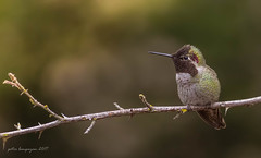 Anna's Hummingbird (Peter Bangayan) Tags: hummingbird hummer smallbirds bird birds annashummingbird wildlife nature