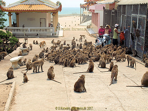 Feeding time for the annoying monkeys at Wat Kow Takiab, or Wat Kao Lad, Chopstick Hill in 2015, about 20 miles south of Hua Hin. Prachuap Khiri Khan, Thailand.