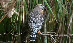 Hooked head and hooked feet (Shannon Rose O'Shea) Tags: shannonroseoshea shannonosheawildlifephotography shannonoshea shannon redshoulderedhawk hawk bird beak feathers lakerianhard celebration florida flickr nature wildlife raptor claws talons branch branches tree trees outdoors outdoor wwwflickrcomphotosshannonroseoshea colorful fauna canon canoneosrebelt6i canon100400mm14556lis canont6i canoneost6i canonrebelt6i eosrebelt6i eost6i rebelt6i t6i yellowfeet