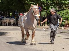 Wemmel : Jaarmarkt, championship for horses#6 (foto_morgana) Tags: animals belgie belgique belgium cheval horse jaarmarkt2016 mammalia mammals mammifères outdoor paard säugetiere wemmel zoogdieren
