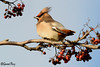 Waxwing (parry101) Tags: cardiff south wales bird birds animal outdoor waxwing waxwings