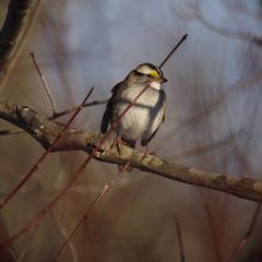 white-throated sparrow (debunkshy1) Tags: whitethroatedsparrow