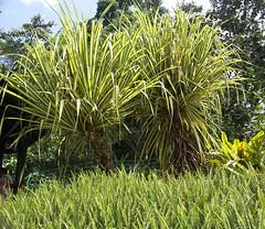 20060803_36 (Badly Drawn Dad) Tags: malaysia mys sabah geo:lat=604791212 poringhotsprings geo:lon=11670328438 geotagged ferns palms poolside variegated
