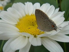 Very small butterfly (marlenells) Tags: white flower macro topf25 freeassociation topc25 topv111 closeup 1025fav wow wonderful butterfly garden wonder ilovenature topv555 topv333 dof topv1111 topc50 small topv999 2550fav daisy verdeeamarelo topv777 quintaflower margarida maringá midsize lycaenidae bmna ventral 1000v polyommatinae i500 nimphalidae