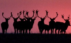Serious headgear (Today is a good day) Tags: uk sunset england beautiful silhouette forest wow geotagged dusk wildlife awesome horizon deer fallowdeer ashridge todayisagoodday tiagd kendouglas