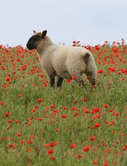 Poppies and Sheep (Victor Keech) Tags: wild cute field kent sheep interestingness1 poppy poppies flossy i500