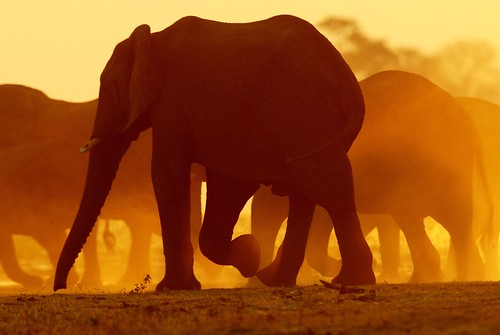 Crossing · LIONKING · Elephants at sunset