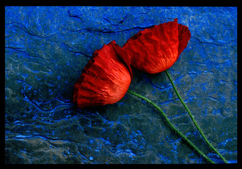 Poppies / Garry Corbett