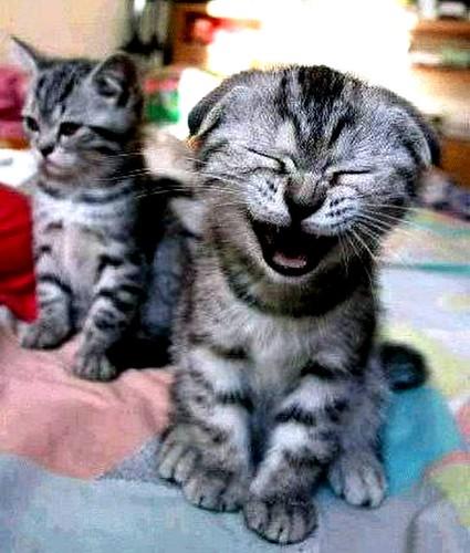 gambar kucing ketawa