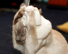 DUCK AND COVER! (jiva) Tags: white game cat bag fun toy nose duck paw chat pointy play erasmus tea head stripes fluffy hide claw cover gato catnip katze paws puss gatto teabag crouch claws snout nip bluepoint balinese ohnoes catling abigfave