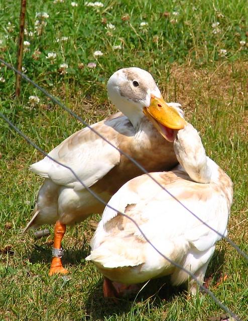 Duck Fight!