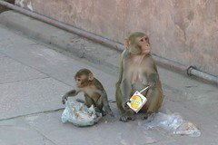 Urban monkeys (Chrissie64) Tags: urban india nature animals trash wonderful funny flickr published agra litter urbanwildlife monkeys mammals animalplanet langur simian primates 1000views urbanlife rubbishbins freemeal oportunity opportunists simien langurmonkey urbanmonkeys