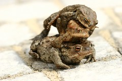 Jumping out of nowhere ! (AmUnivers) Tags: 20d three toads 100mm toad lookatme abc src urfavsanimals