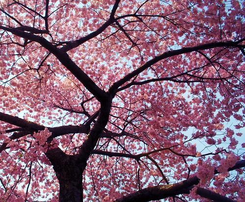 cherry tree blossom. Cherry Tree