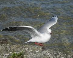 Coming or Going? (EssjayNZ) Tags: sea newzealand bird tag3 taggedout tag2 tag1 seagull wing 2006 essjaynz featheryfriday taken2006 omokoroa sarahmacmillan
