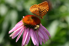 Sharing a Flower (Robby Edwards) Tags: flower wow butterfly garden echinacea farm insects bee morristown nationalhistoricalpark specnature 1on1flowers gtaggroup morristownnationalhistoricalpark goddaym1