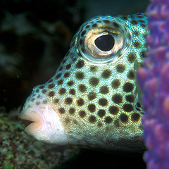 Spotted Trunkfish Peek-a-boo (laszlo-photo) Tags: fish eye underwater scuba curacao caribbean spotted reef trunkfish