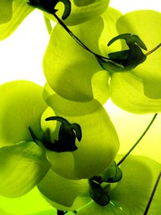 "orchide au ""vert"" (Biscarotte) Tags: light orchid flower green fleur set wow wonder interesting fantastic superb vert 3000 anis 2600 2500 orchide 3100 oillamp 2800 2400 2900 1000v 2700 60f 2000v 900v 50f 1500v 70f 1800v 1600v 1700v 1200v 1100v lampehuile 1900v 2100v 1300v 1400v 2200v 2300v"