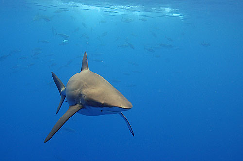 Silky Shark near Christmas Island, Australia