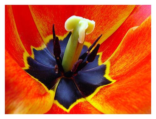 tulip center