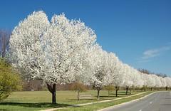 many, many gorgeous flowering trees (Steve from NJ) Tags: trees 15fav white topf25 topc25 topv111 1025fav 510fav newjersey spring topv333 blossoms topv444 2550fav mybest weeklysurvivor 1111v11f 333v3f 222v2f 444v4f 111v1f 777v7f 999v9f 888v8f 666v6f 71points i500 interestingness439 judgmentday52 250v10f explore20jul06 abigfave 5favlandscapes anawesomeshot superhearts platinumheartaward