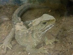 Tuatara, Nga Manu, Waikanae, New Zealand, 15 April 2006