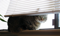 Peeking (maxxcat) Tags: pet cat zoe catsandwindows