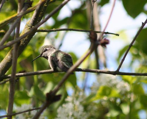 hummingbird perching