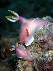 Hypselodoris bullocki mating! (Coppertane) Tags: ocean sea macro animals asia southeastasia underwater scuba diving malaysia scubadiving nudibranch favourite weeklysurvivor animalplanet aur facebook dayang c5060wz hypselodorisbullocki coppertane xgf03 x0301 x0302 nudipixel