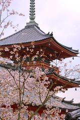 Kiyomizu Dera (wmchu) Tags: japan cherry temple spring kyoto shrine   cherryblossom  sakura kansai  kiyomizudera