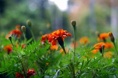 wild flowers (junglecatwoman) Tags: orange nature grass outdoors malaysia wildflowers resorts floraandfauna frasershill
