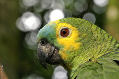 Papagaio (Guilherme Labarrere) Tags: life wild nature birds animal parrot labarrere