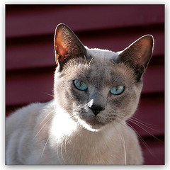 Furry Friday (LeFon) Tags: blue cats animal cat chat bleu boothbay