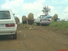 More Lions (Tim Twelves) Tags: lionpark